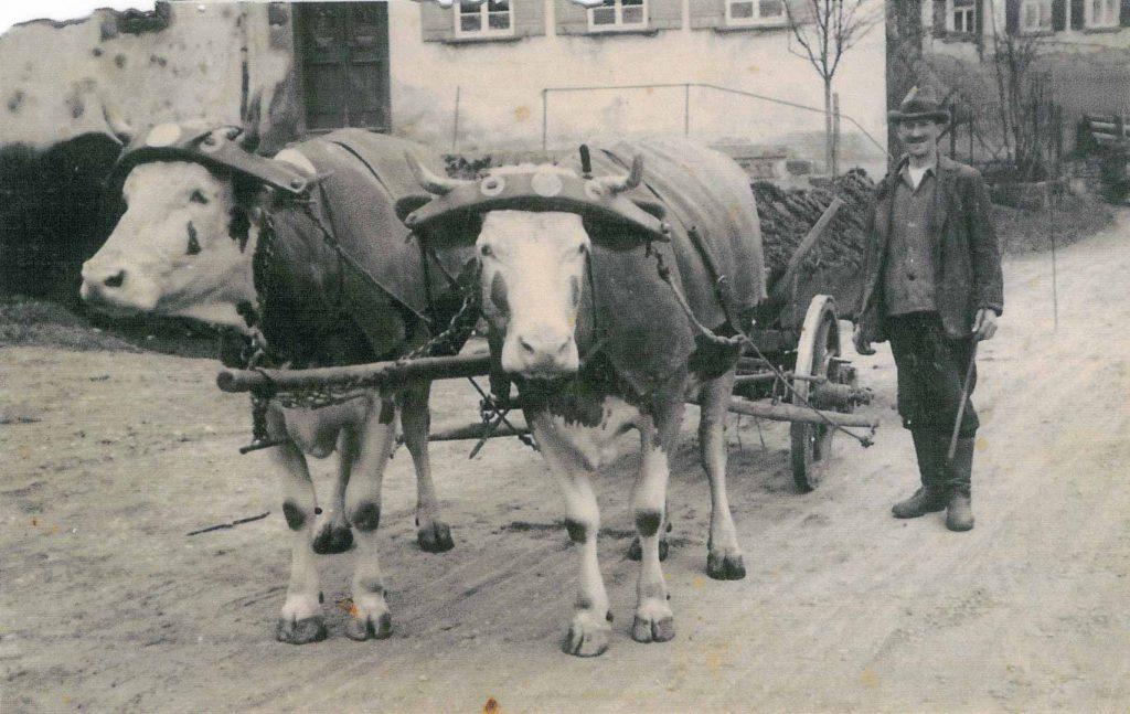 Herr Bräuniger mit einem Ochesen-Kuh-Gespann beim Haus Gronbach Senior